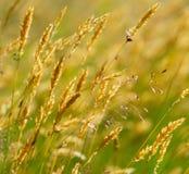 желтый цвет лужка травы одичалый Стоковое Изображение