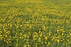 желтый цвет лужка Стоковая Фотография RF