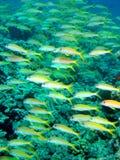 желтый цвет луциана Стоковое фото RF
