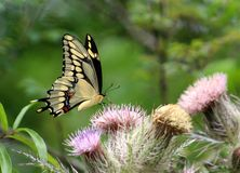 Желтая бабочка стоковая фотография rf