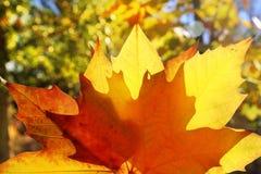 желтый цвет макроса листьев осени золотистый Стоковые Фотографии RF