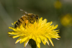 желтый цвет макроса цветка пчелы Стоковое Фото