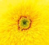 желтый цвет макроса цветка Стоковое фото RF