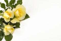 желтый цвет маленьких роз предпосылки белый Стоковые Изображения