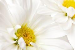 желтый цвет маргаритки белый стоковая фотография
