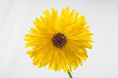 желтый цвет маргаритки изолированный цветком Стоковые Изображения