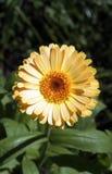 желтый цвет маргаритки Стоковые Фото