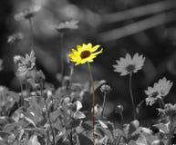 желтый цвет маргаритки Стоковое Изображение