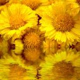 желтый цвет маргаритки Стоковое Изображение RF