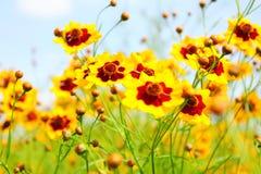 желтый цвет маргариток Стоковое Изображение RF