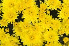желтый цвет маргариток Стоковые Изображения RF