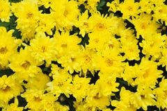 желтый цвет маргариток Стоковая Фотография