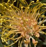 желтый цвет меда grevillea самоцвета Австралии абрикоса Стоковое Изображение