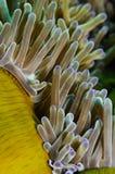 желтый цвет моря anenome стоковые изображения rf