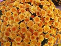 желтый цвет мумий померанцовый стоковые фотографии rf