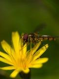 желтый цвет мухы цветка Стоковое фото RF