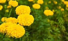желтый цвет ноготк Стоковая Фотография