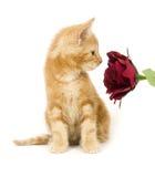 желтый цвет обнюхивать котенка цветка Стоковые Изображения RF