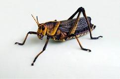 желтый цвет одного близкого кузнечика раговорного жанра Стоковая Фотография RF