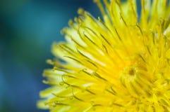 желтый цвет одуванчика стоковая фотография
