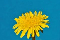 желтый цвет одуванчика Стоковые Фото
