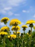 желтый цвет одуванчика Стоковое Изображение RF