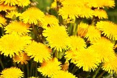 желтый цвет одуванчика Стоковое фото RF