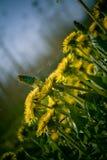 желтый цвет одуванчиков Стоковые Фотографии RF