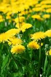 желтый цвет одуванчиков Стоковое Фото