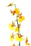 желтый цвет орхидеи цветка Стоковая Фотография RF