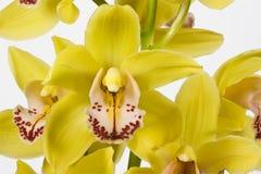 желтый цвет орхидеи стоковое фото rf