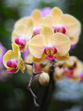 желтый цвет орхидеи Стоковая Фотография RF