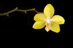 желтый цвет орхидеи Стоковая Фотография