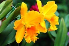желтый цвет орхидеи стоковые изображения