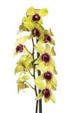 желтый цвет орхидеи Стоковые Изображения RF
