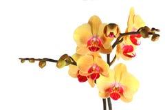 желтый цвет орхидеи 5 бутонов Стоковая Фотография RF