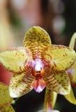 желтый цвет орхидеи Стоковые Фото