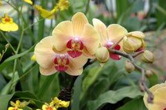 желтый цвет орхидей розовый Стоковые Изображения RF
