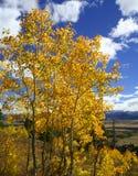 желтый цвет осины Стоковая Фотография