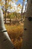 желтый цвет осин Стоковые Фото