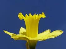 желтый цвет пасхи daffodil Стоковое Изображение RF