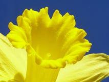 желтый цвет пасхи daffodil Стоковые Изображения RF