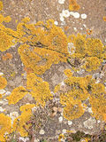 желтый цвет поверхности утеса мха Стоковое Изображение RF