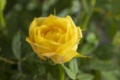 Желтый цвет поднял в сад стоковая фотография rf