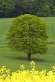 желтый цвет полей зеленый Стоковая Фотография RF