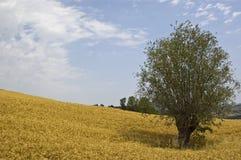желтый цвет полей Стоковая Фотография