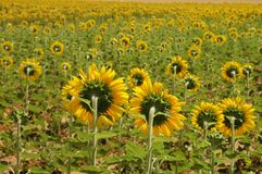 желтый цвет полей Стоковые Фотографии RF