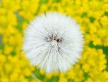 желтый цвет поля одуванчика Стоковое фото RF