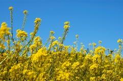 желтый цвет поля Стоковые Фотографии RF