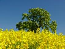 желтый цвет поля Стоковые Изображения